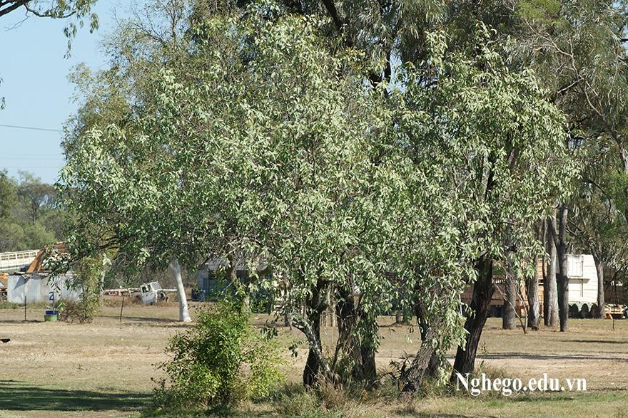 Cây đàn hương Úc
