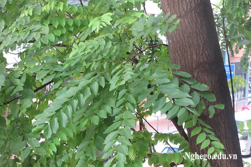 Cây gỗ lim xanh