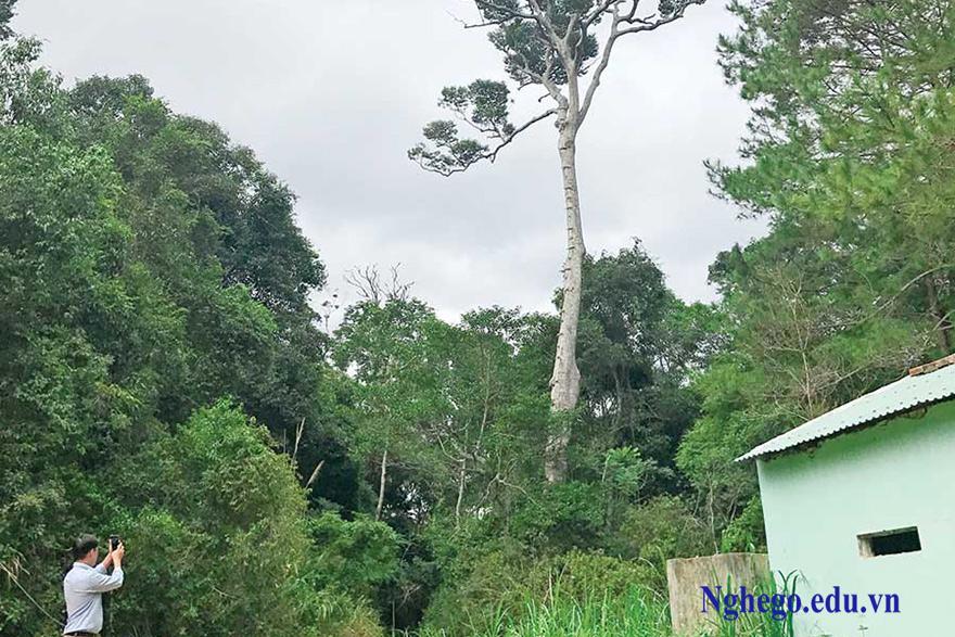 Cây xoay rừng Kbang