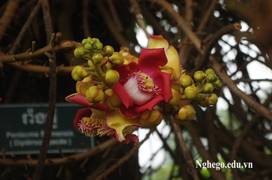 Hoa cẩm liên