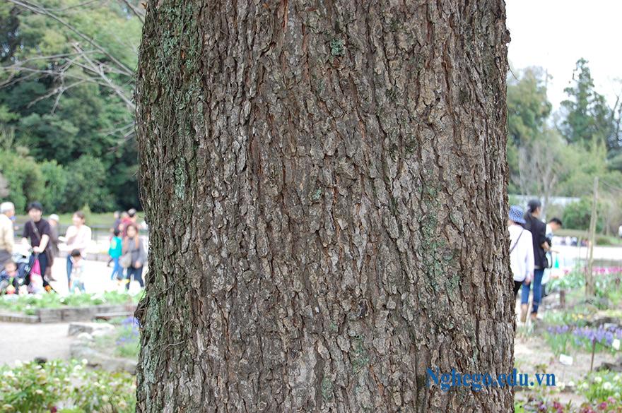 Thân cây du sam