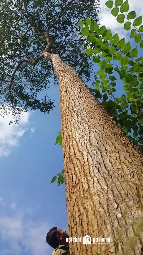 cây gỗ xá xị