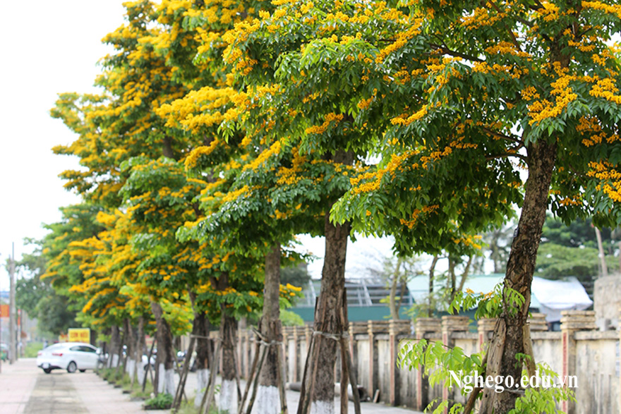 Cây gỗ giáng hương là gì