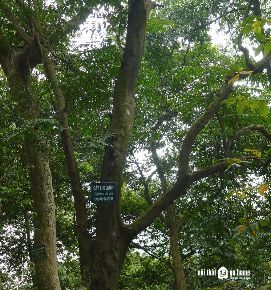 cây gỗ lim