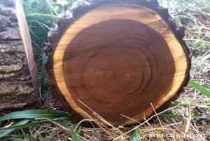 Các loại gỗ óc cho trên thị trường hiện nay