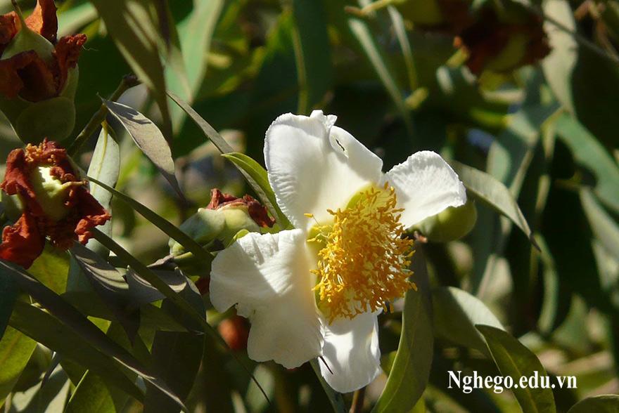 Hoa cây vắp