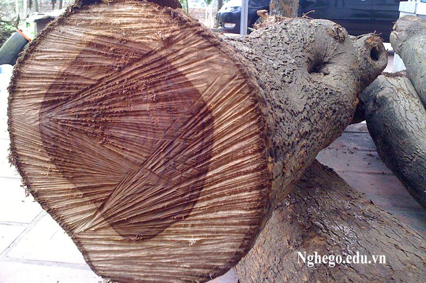 cây gỗ sưa 2