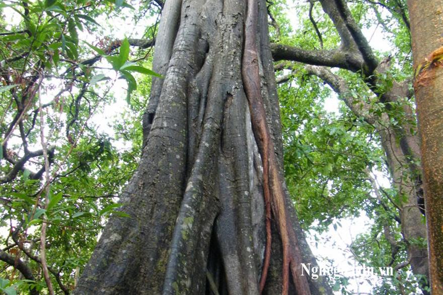 Tìm hiểu về cây gỗ mun