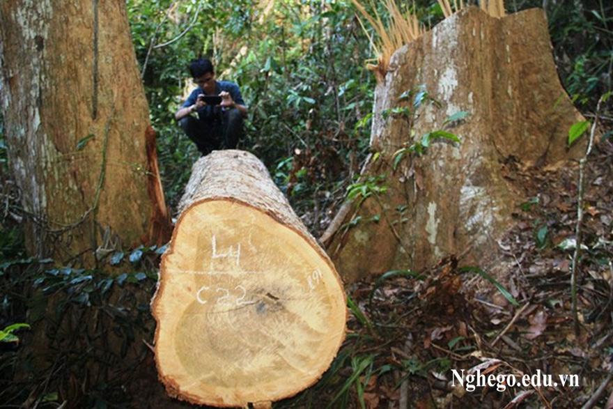 Thân cây gỗ dổi