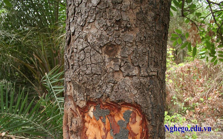Cây gỗ xà cừ