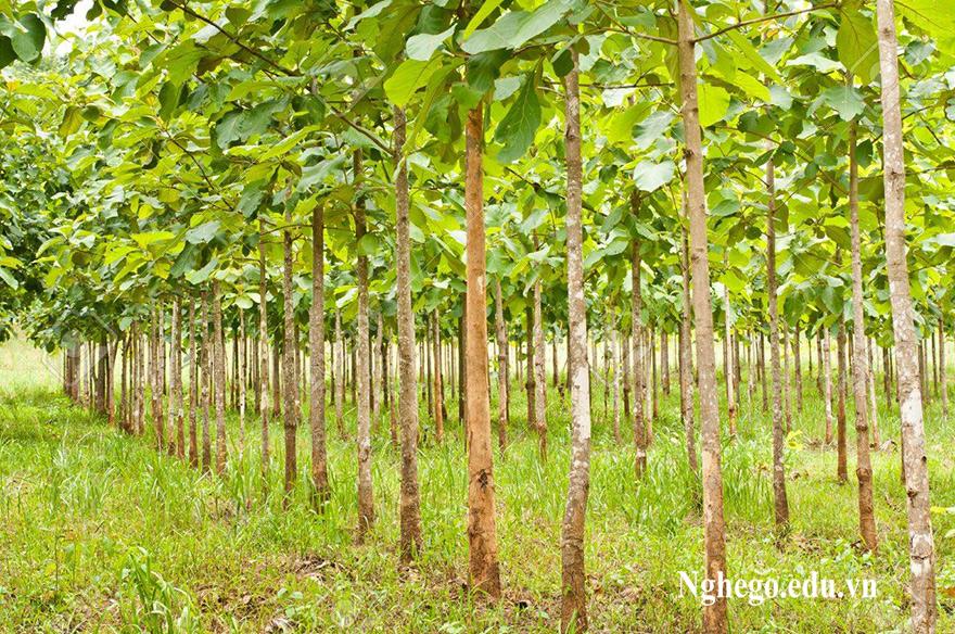 Cây gỗ teak