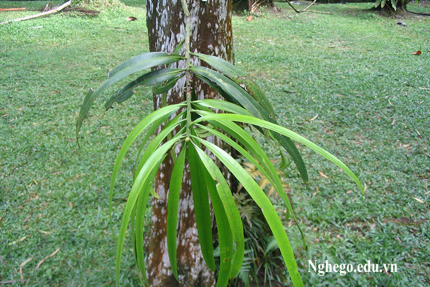 Cây thông tre lá dài