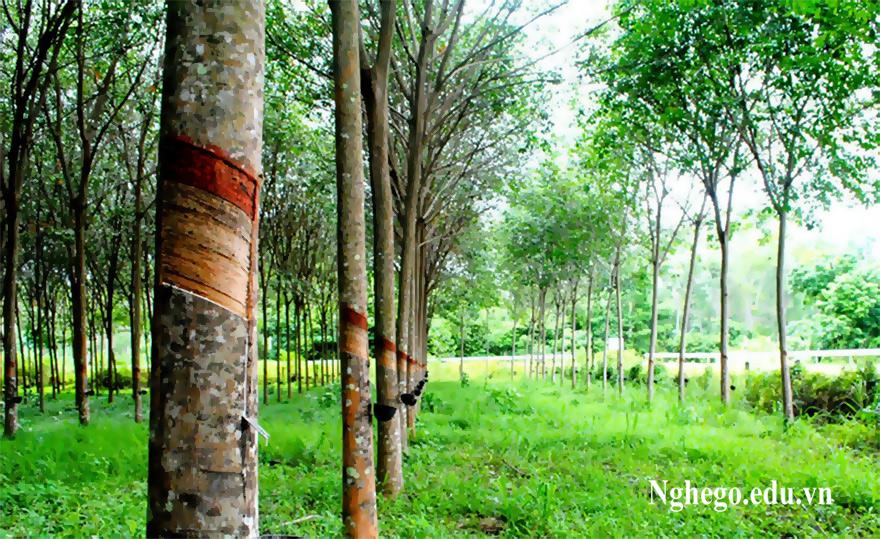 Cây gỗ cao su