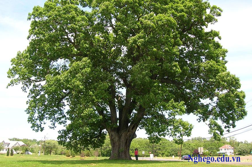 cây gỗ gụ