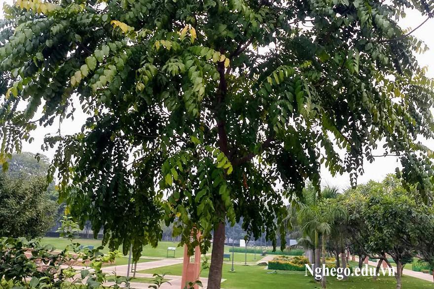 Cây gỗ lát hoa