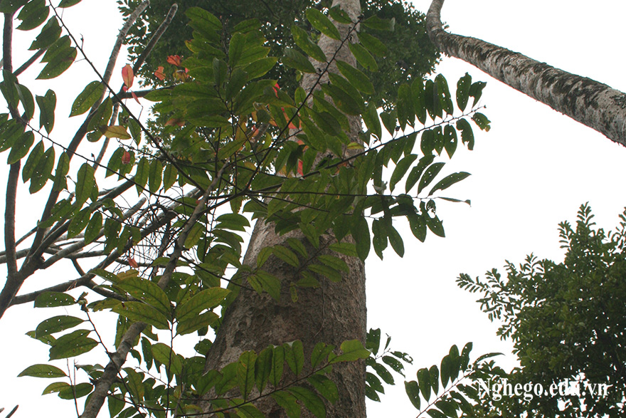 Cây gỗ sến mật
