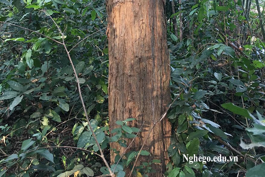 Cây gỗ trắc là gì