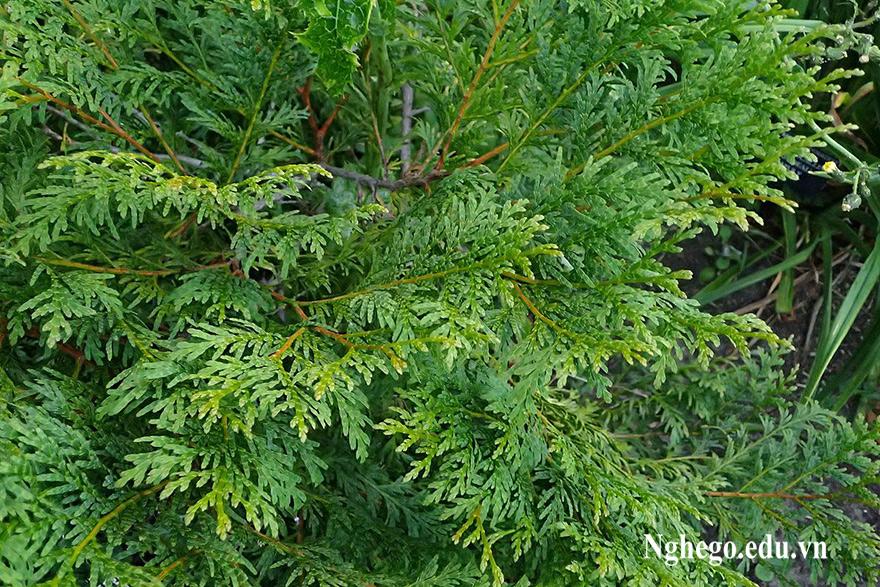 Lá cây gỗ bách xanh