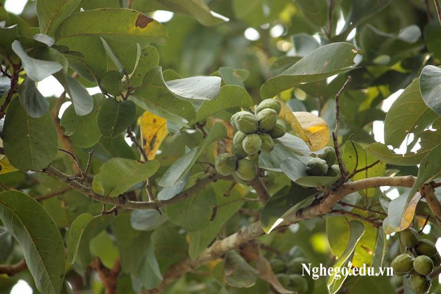 Quả cây gỗ chiu liu