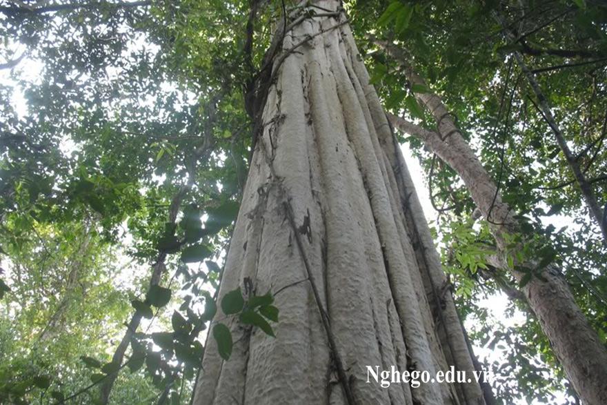 Thân cây gỗ gõ đỏ