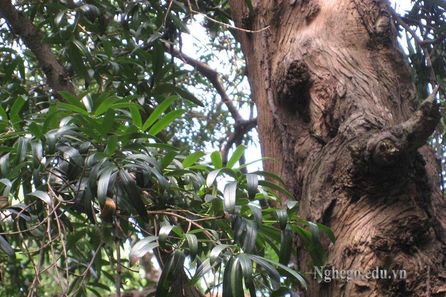 Thân cây thông tre