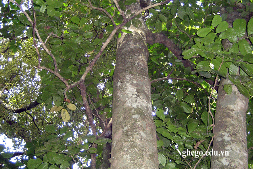 Thân gỗ huỳnh đường